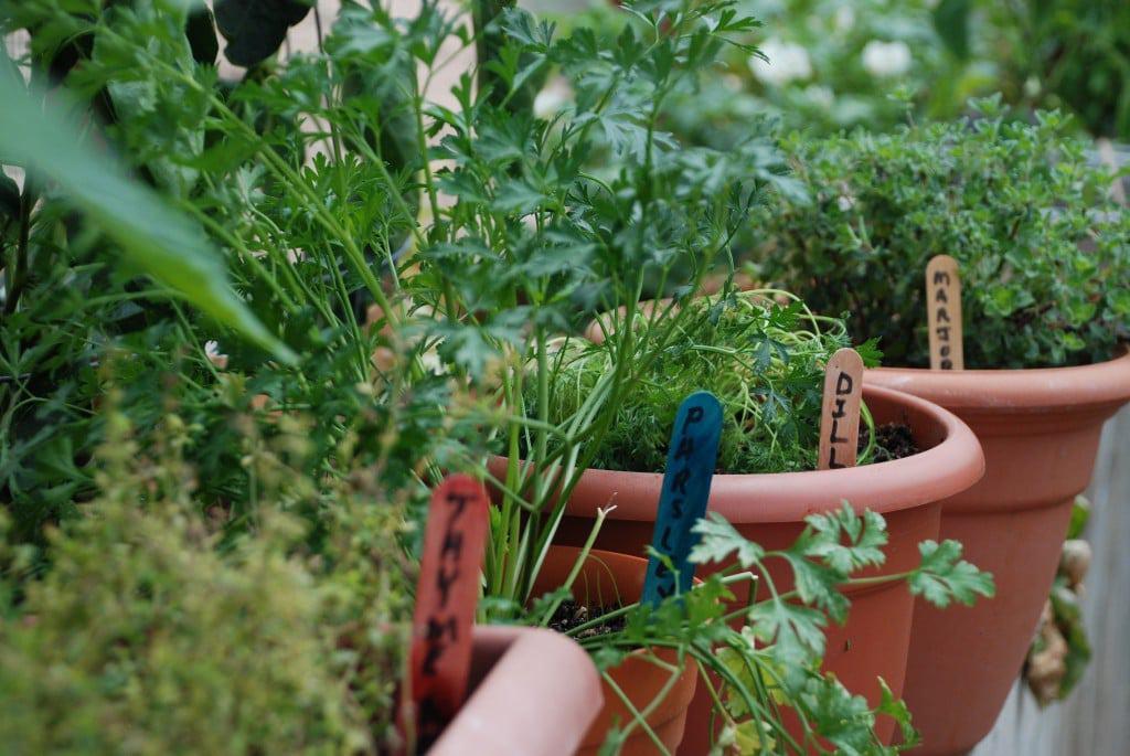 Bajan seasoning in garden
