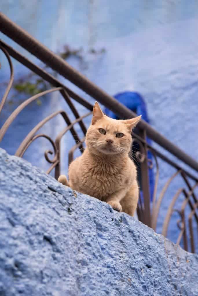 Chefchaoeun cat