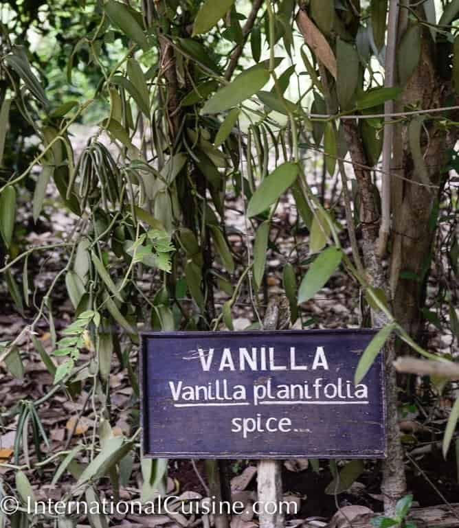 Picture of vanilla plants