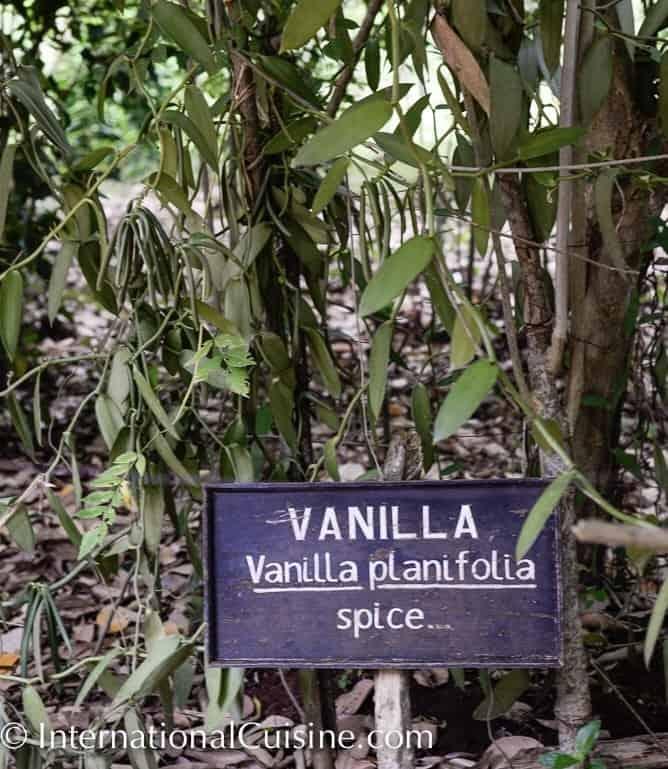 Picture of vanilla plants