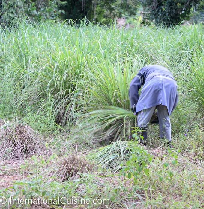 A picture of a worker harvesting lemongrass