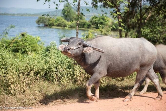 A picture of a water buffalo