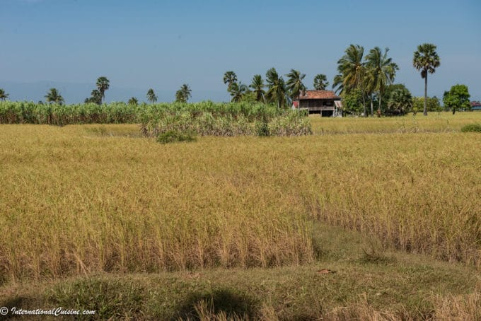 A picture of a golden rice field in Kampot Cambodia